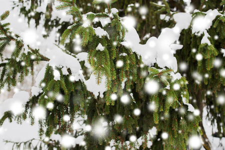 season, nature and christmas concept - fir branch and snow in winter forest