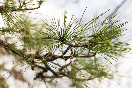 close up of green pine tree branch