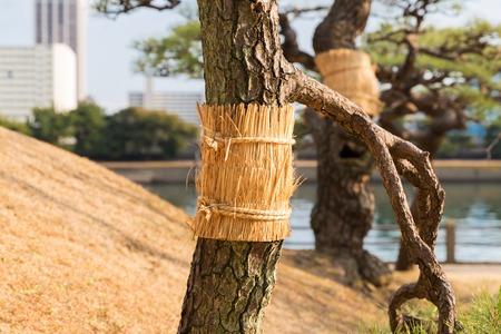 close up of pine tree at hamarikyu gardens park Stock Photo