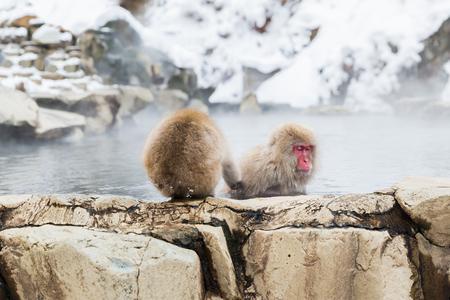 japanese macaques or snow monkeys in hot spring 版權商用圖片