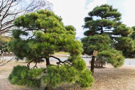 pine trees at hamarikyu gardens park in tokyo