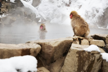 japanese macaques or snow monkeys in hot spring Stock Photo