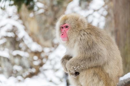 japanese macaque or snow monkey at jigokudan park