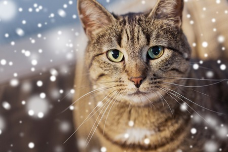 portrait of tabby cat in winter over snow