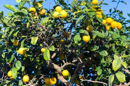 lemon tree over blue sky