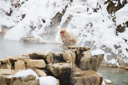 animals, nature and wildlife concept - japanese macaque or snow monkey at hot spring of jigokudani park Stock Photo