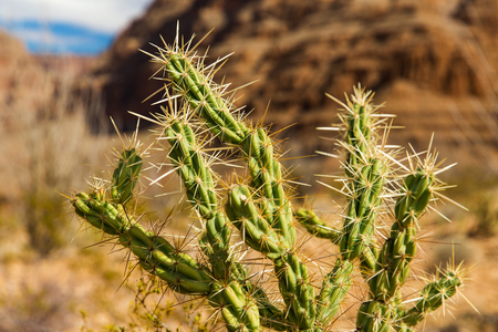 thorny cactus growing in desert of grand canyon