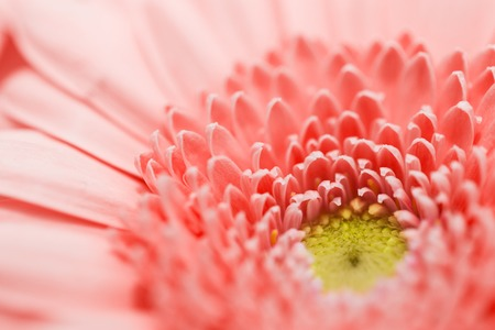 beautiful gerbera flower in living coral color Zdjęcie Seryjne - 113407077
