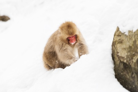 japanese macaque or monkey searching food in snow