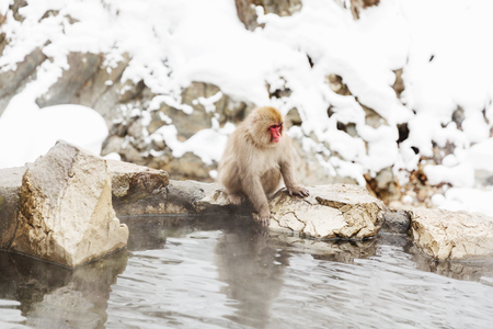 japanese macaque or snow monkey in hot spring