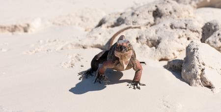 exuma island iguana in the bahamas Stock fotó
