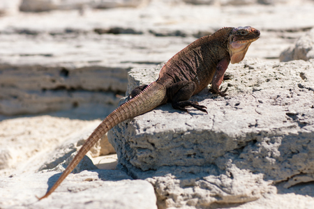 exuma island iguana in the bahamas