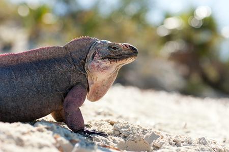 exuma island iguana in the bahamas 免版税图像