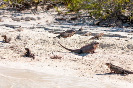 exuma island iguanas in the bahamas