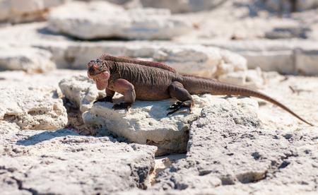 exuma island iguana in the bahamas Reklamní fotografie
