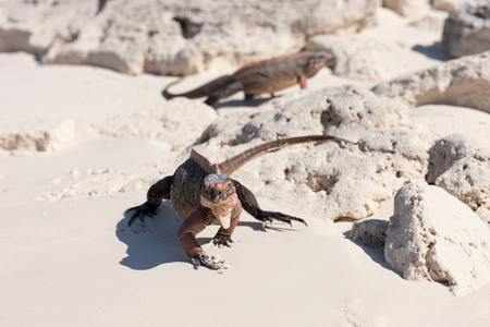 animal, fauna and nature concept - exuma island iguanas in the bahamas