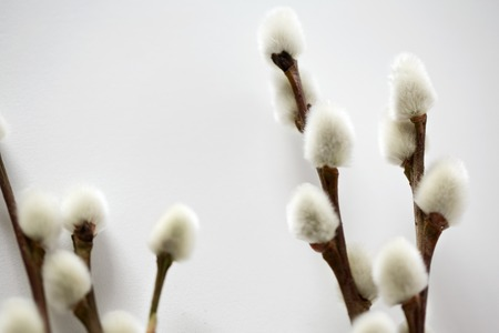 close up of pussy willow branches on white Stock Photo