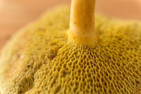 Close up of suillus bovinus mushroom Banco de Imagens