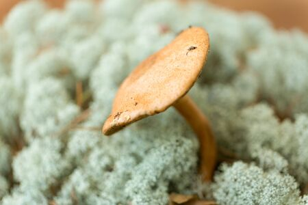 Suillus bovinus mushroom in reindeer lichen moss