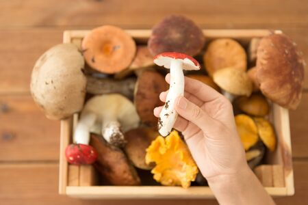Hand holding russule over box of edible mushrooms
