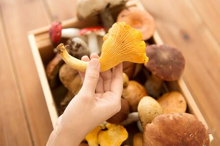 hand holding chanterelle over box of mushrooms Stock Photo