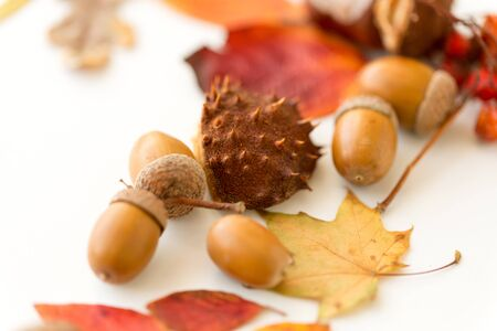 nature, season and botany concept - close up of acorns, chestnut shell and dry fallen autumn leaves on white background