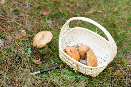 basket of mushrooms and knife in autumn forest