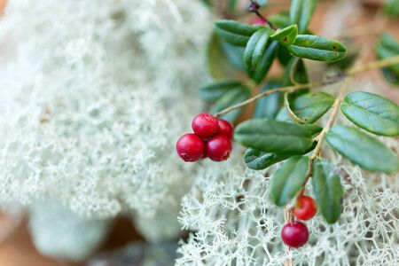 Close up of cowberry and reindeer lichen moss 写真素材