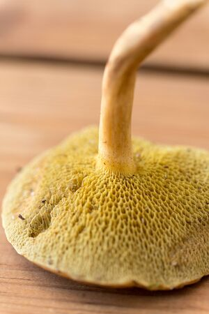 Close up of suillus bovinus mushroom Stock Photo