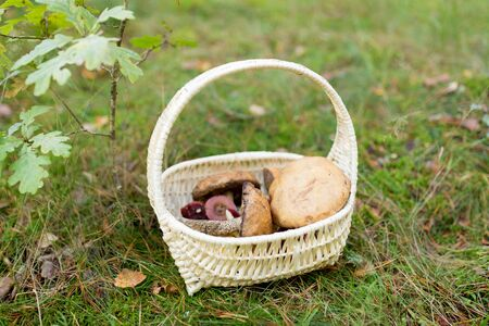Basket of mushrooms in autumn forest
