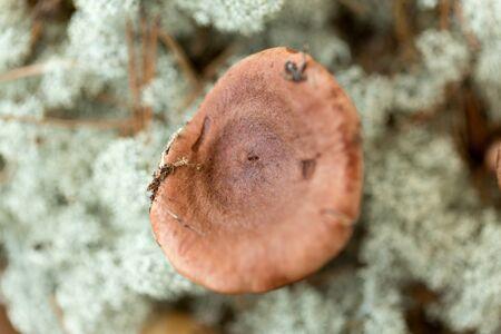Lactarius rufus mushrooms in reindeer lichen moss