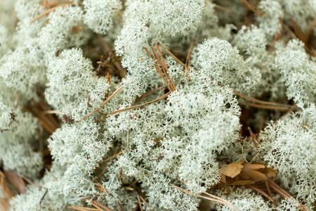 Close up of reindeer lichen moss