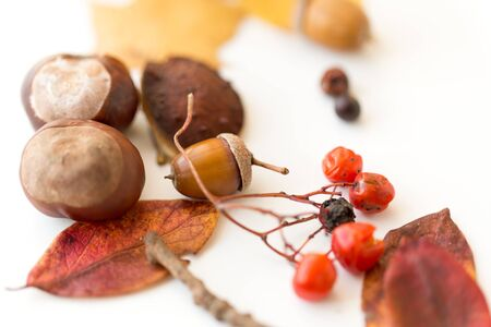 Nature, season and botany concept - close up of acorn, dry fallen autumn leaves, chestnuts and rowanberries on white background
