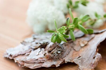 close up of cowberry plant and pine tree bark Stock Photo