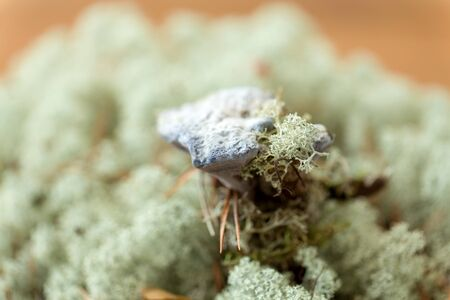 hydnellum fungus on reindeer lichen moss Stock Photo