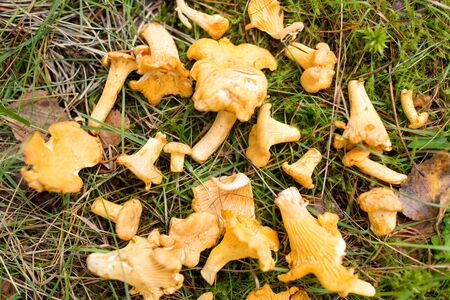 chanterelles mushrooms on ground in autumn forest