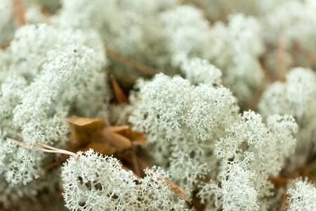 nature, environment and botany - close up of deer lichen moss