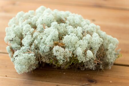 close up of reindeer lichen moss 写真素材