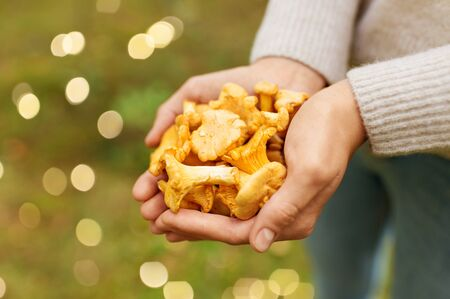 Season, nature and leisure concept - Close up of woman hands holding chanterelles mushrooms in forest Stock Photo
