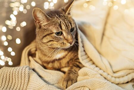 tabby cat lying on blanket at home in winter 스톡 콘텐츠