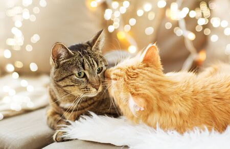 Two cats lying on sofa with sheepskin at home in winter