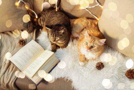 Two cats lying on sofa with book and sheepskin at home in winter