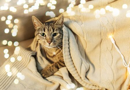 Tabby cat lying on blanket at home in winter