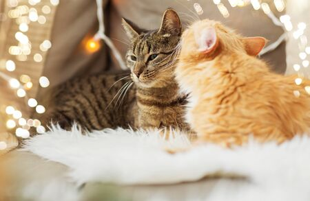 two cats lying on sofa with sheepskin at home Reklamní fotografie