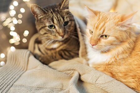 pets, christmas and hygge concept - two cats lying with blanket at home in winter Stock fotó