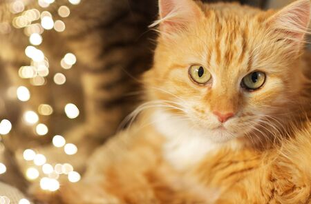 pets and domestic animal concept - close up of red tabby cat