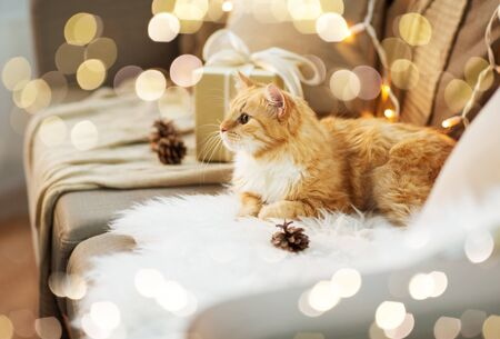 pets, christmas and hygge concept - red tabby cat on sofa with present at home in winter Stockfoto