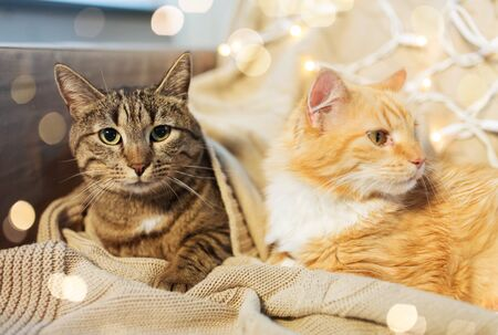 pets, christmas and hygge concept - two cats lying on sofa at home in winter