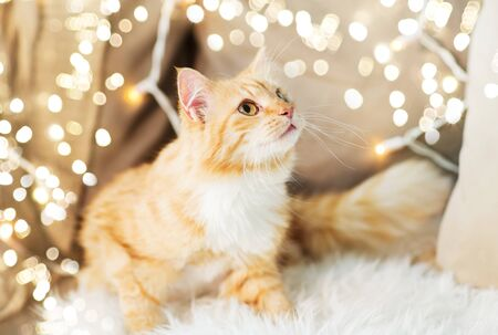 pets, christmas and hygge concept - red tabby cat on sofa with sheepskin at home in winter Stock fotó