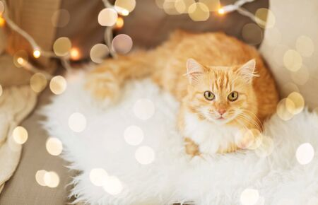 red tabby cat on sofa with sheepskin at home 写真素材